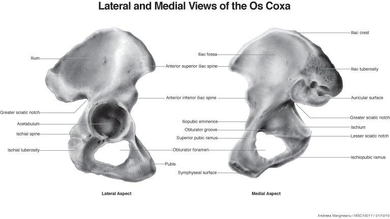 Coxal Bone Diagram | Gallery