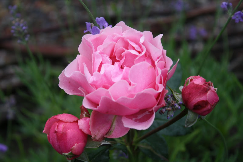 Thorins trädgård - Leonardo da Vinci