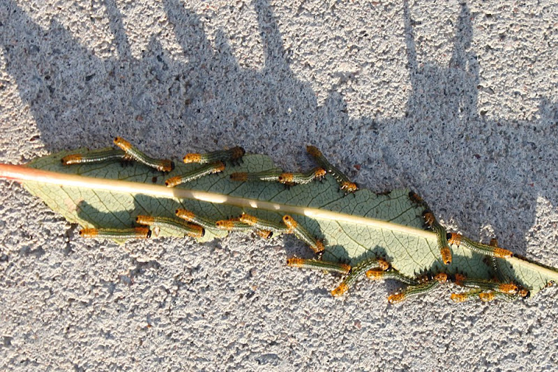 Trädgårdsblogg Thorins Trädgård sjukdomar larver
