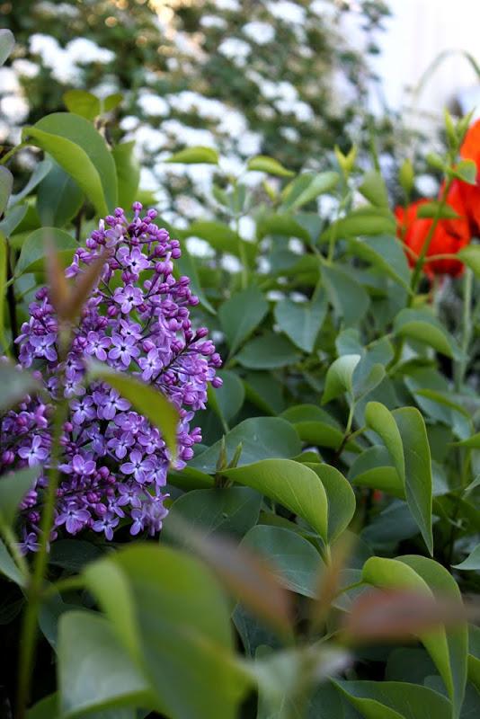Thorins Trädgård - syrenhäck