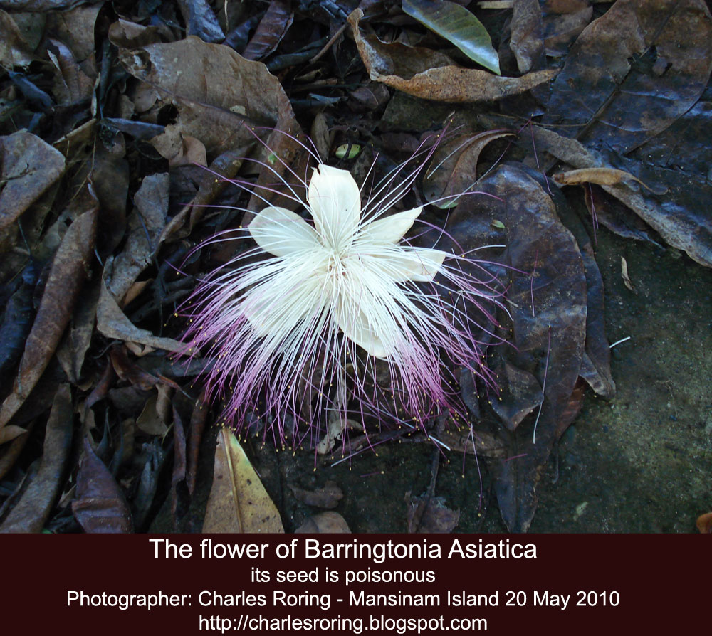 Birding And Wildlife Watching Barringtonia Asiatica Beautiful But