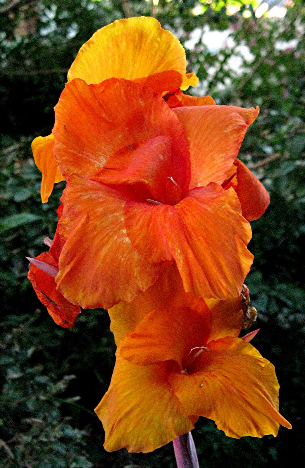 1003 gardens i like the big outrageous flowers of late summer canna 39 bengal tiger 39 datura. Black Bedroom Furniture Sets. Home Design Ideas