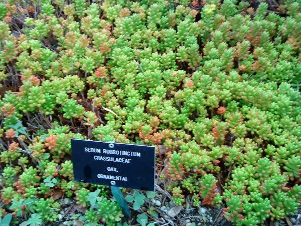 Jardin botanico unam sedum rubrotinctum for Jardin botanico unam 2015