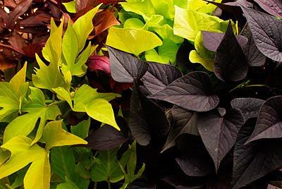 tine taufrisch zierpflanze und gem se in einem die. Black Bedroom Furniture Sets. Home Design Ideas