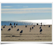 Coney Island BeachSeagulls (walk in new york coney island beach framed)