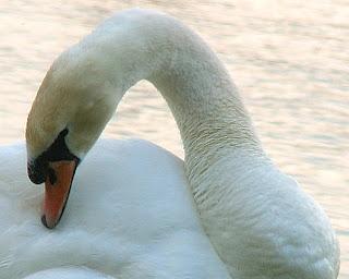Mute Swan in Lakeland