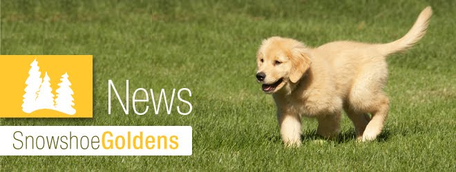 Snowshoe Goldens News