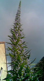 Echium Pininana x Wildpretii hybrid