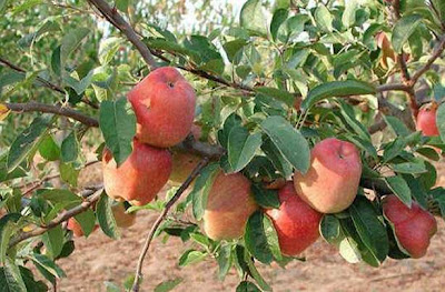 Have you ever seen an Apple tree?