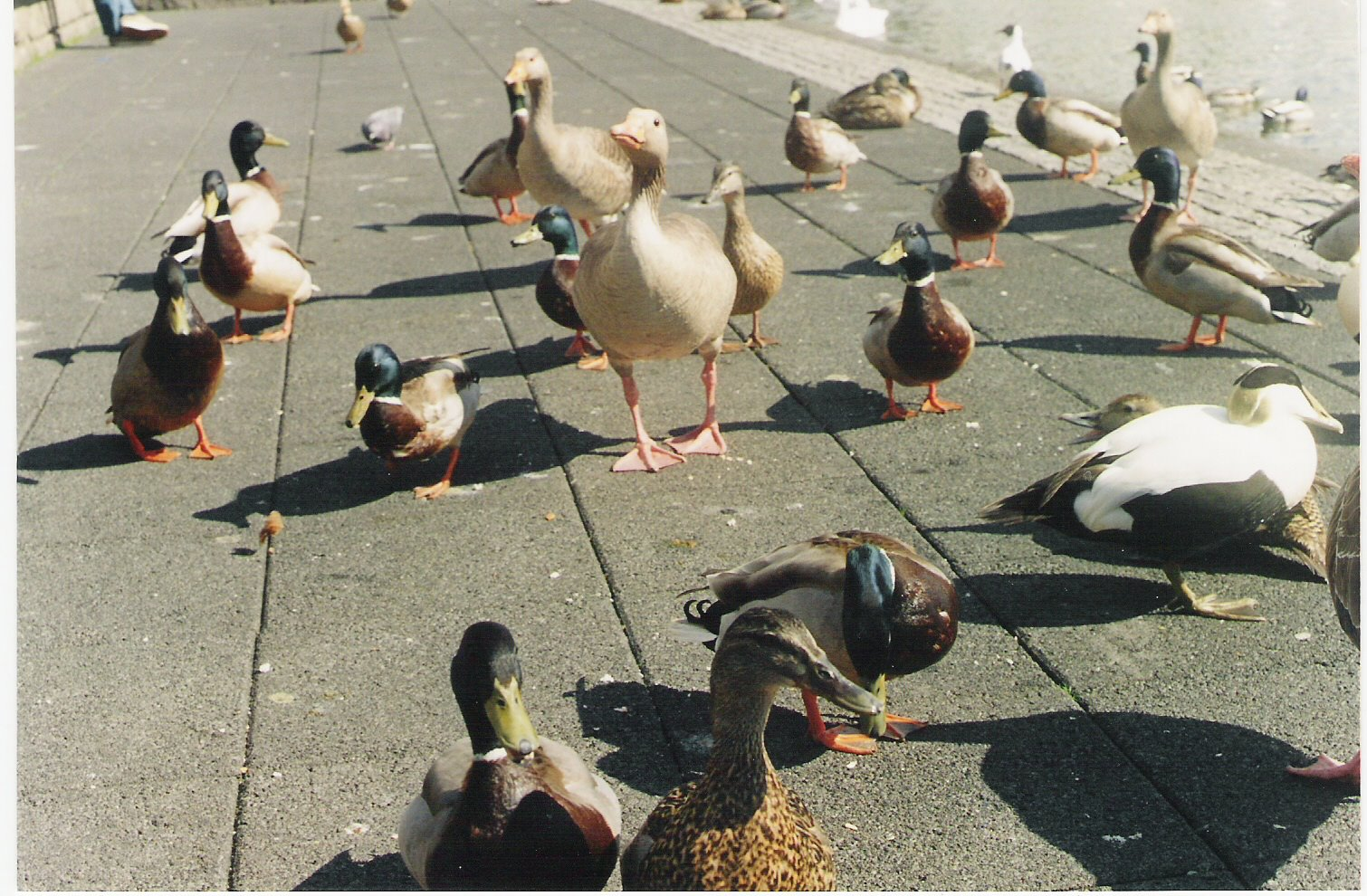 [cisnes+y+patos+en+Reikjavik.ong+vida]