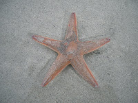 Starfish at Luskentyre
