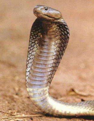 Koleksi Gambar Ular Kobra (cobra zone)