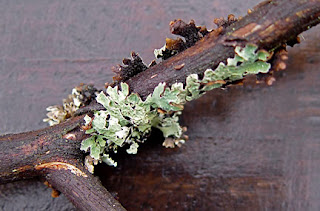 lichen on madrona branch, photo by Robin Atkins