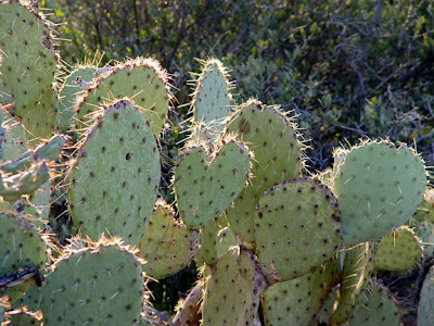 prickly pear cactus, Hwy 87, Phoenix AZ, photo by Robin Atkins