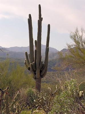 saguaro cactus, Hwy 87, Phoenix AZ, photo by Robin Atkins
