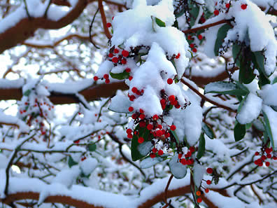 Madrona tree, berries, photo by Robert Demar