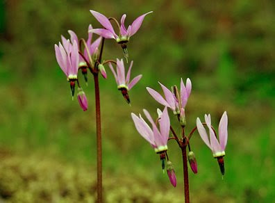 shooting star wildflowers, photo by Robert Demar