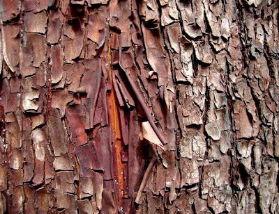Pacific Madrone, madrona trees, shade side bark on trunk