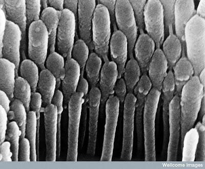 மனிதனின் அணுக்களின் முப்பரிமான படங்கள்..... Hair+cells