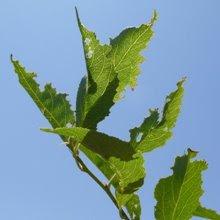 Plum leaf damage © Tyler Storey