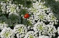Ladybug on carrot © Tyler Storey