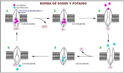 mecanismo de la bomba de sodio y potasio