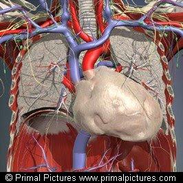 Órganos intratorácicos