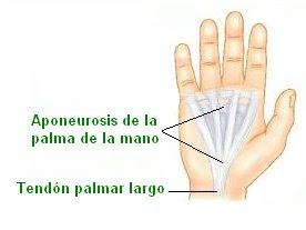aponeurosis y tendones de la mano
