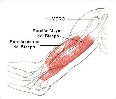 partes del bíceps braquial