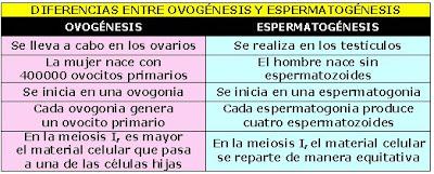 diferencias entre ovogénesis y espermatogénesis