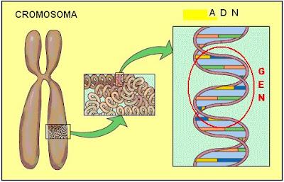 cromosoma, ADN, gen