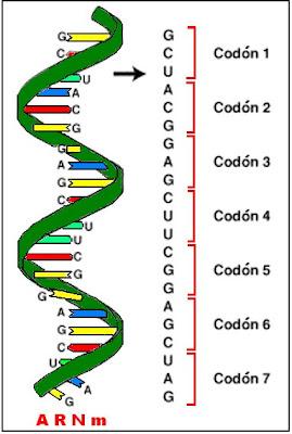 Las palabras del código genético se denominan codones, cada uno de los cuales está formado por tres letras (tres bases nitrogenadas) que conforman un triplete.