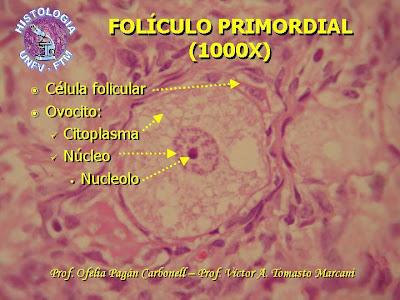 folículo primordial