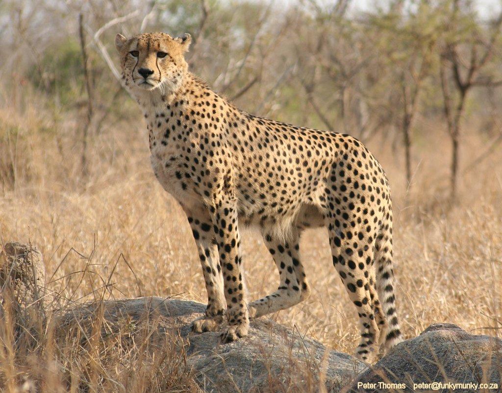 http://2.bp.blogspot.com/_TYTyiSaokkI/TP9dhagDTII/AAAAAAAAAJo/_vydZPezuYQ/s1600/cheetah%2Bwallpaper.jpg
