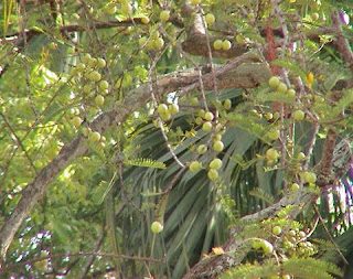 Malacca Tree