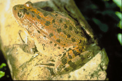 Northern Red-legged Frog (Rana aurora aurora)