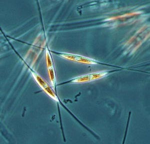 diatoms — unicellular algae