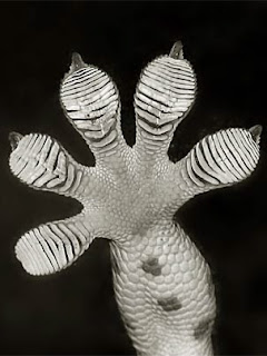 foot of a Tokay gecko