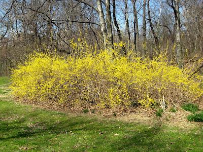 Spring Flowering Shrubs Forsythia