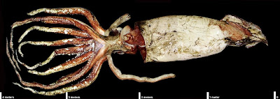 Colossal (Giant) Squid (Architeuthis sp.) Source: NASA
