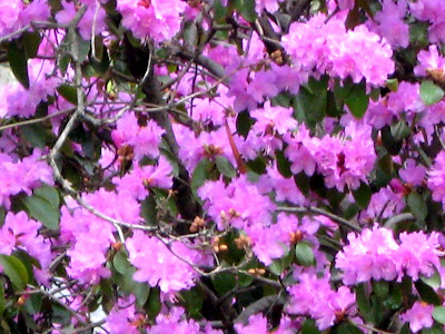 Azaleas Sping Time flowering shrubs