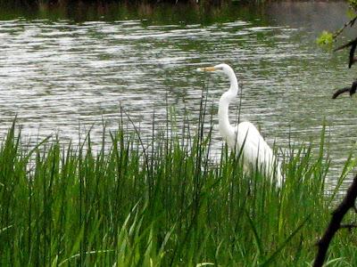 Great Egret (Ardea alba) Clip Art