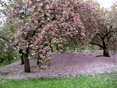 Cherry Trees Blossoms Spring in Central Park