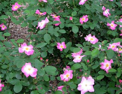 Wild Rose (Rosa virginiana)