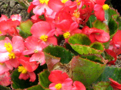 Red Wax Begonias (Begonia x semperflorens-cultorum)