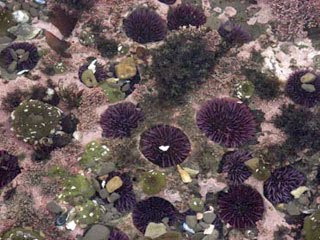 California purple sea urchins