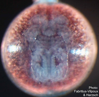 Marmorkrebs embryo