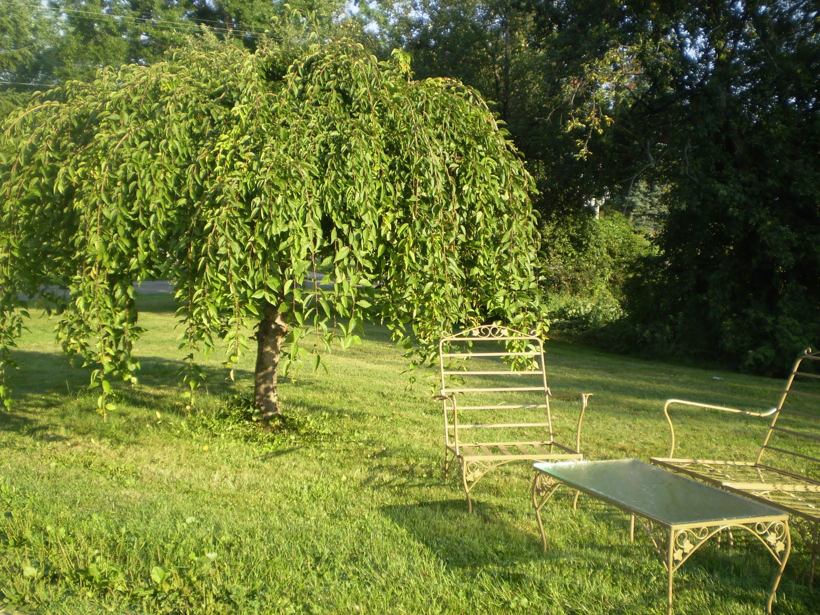 Weeping trees for landscaping how to grade landscape for Weeping garden trees