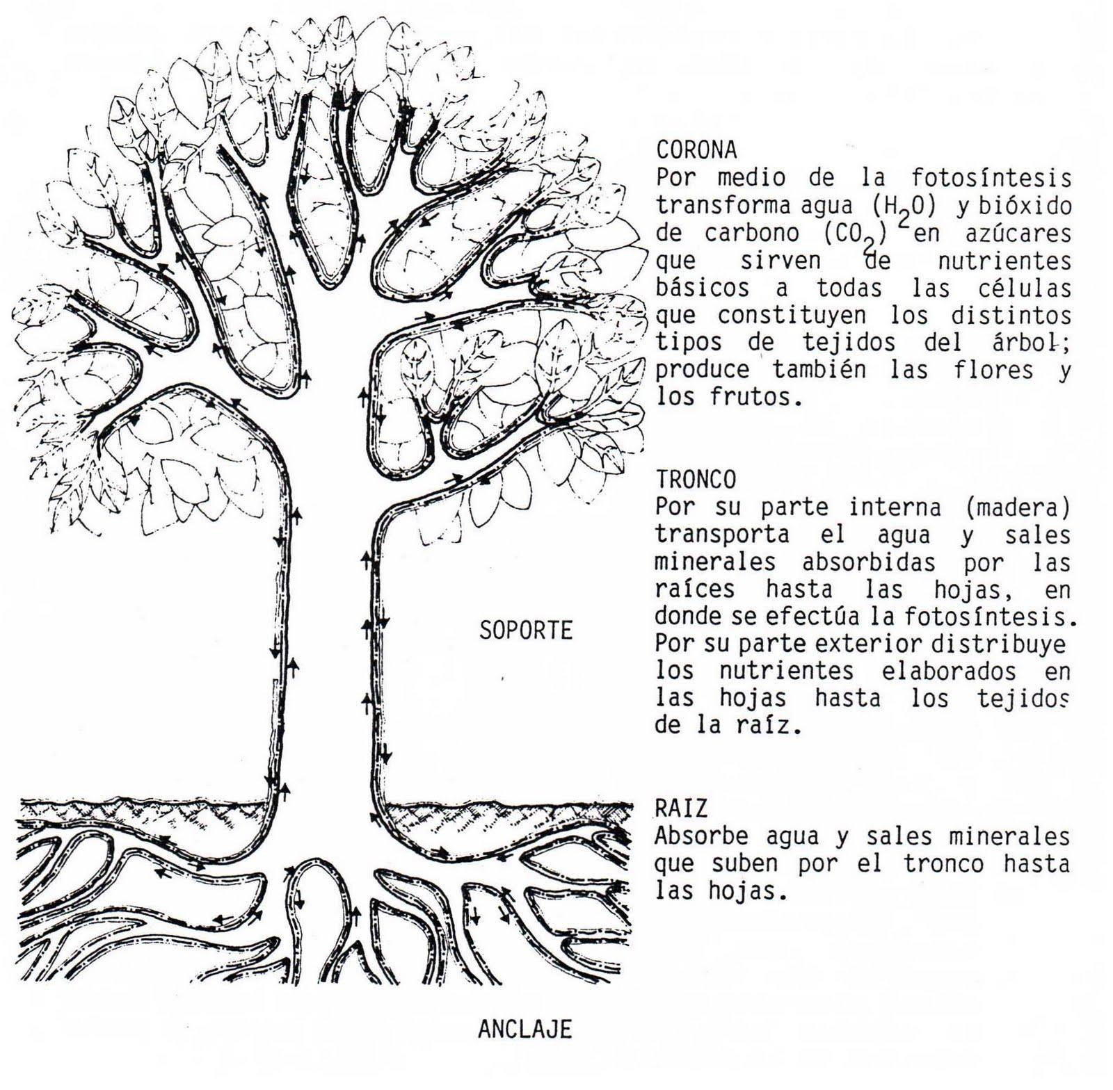 Ciencia y tecnologia de la madera cosas de rboles for Arboles de hoja perenne sin fruto