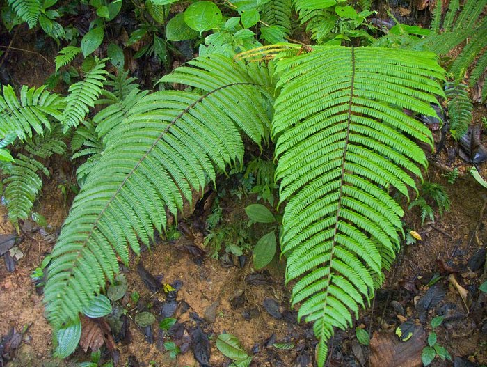Lincah cartoon ferns plants pictures amp wallpapers